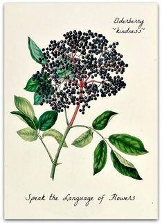 In the Language of Flowers, Elderberry~ Sambucus spp.- kindness, compassion, zeal. Speak the Language of Flowers
