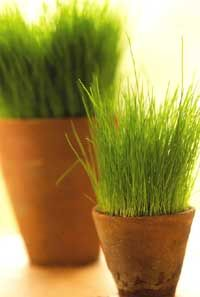 wheat grass as indoor plant...love this for Easter Table idea.