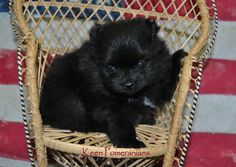 Baby Faith has her paw up thinking about things!  www.keenpomeranians.com