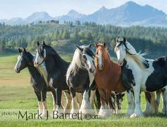 2357-33.jpg :: A group of GYpsy Vanner Horse mares at Pagosa Springs, CO.