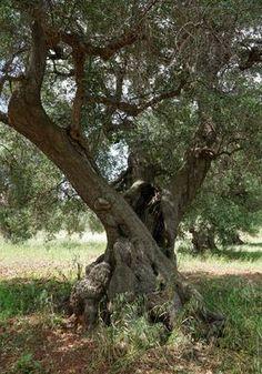 Olivenbaum Fotos & Bilder auf fotocommunity Plants, Pictures, Morning Light, Olive Tree, New Day, Andalusia, Lake Garda, Tuscany, Plant