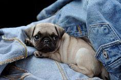 OMG. baby pug