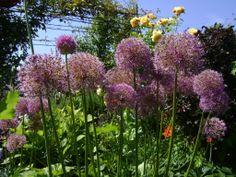 Aliums bring warmer days in the garden