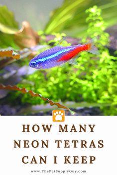 Neon Tetra Fish, Fish Care, Guppy, Goldfish, Betta, Pet Supplies, Aquarium, Animal, Goldfish Bowl