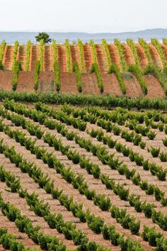 Cariñena vineyard with traditional bush vines.  Grenache from this area has seen recent success.  Photo by Mike Randolph