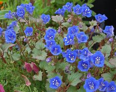 Desert Bluebells, Phacelia campanularia, 500 seeds, electric blue wildflower, any zone 3 to great ground cover Desert Flowers, Desert Plants, Blue Flowers, Wild Flowers, Dry Flowers, Exotic Flowers, Fresh Flowers, Spring Flowers, Colorful Flowers