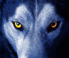 狼眼睛特写