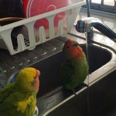 Ivy is not in the mood to share a shower with Minnie  #agapornis #lovebird #roseicollis #lovebirdsofinstagram #peachfacelovebird