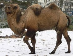 A camel is not the most conventional gift for a teenage boy from Yorkshire. Nor is feeding said camel a pint of beer. Big Animals, Paper Animals, Bactrian Camel, Camelo, National Geographic Kids, Puppy Mills, Animal Kingdom, Mammals, Fur Babies