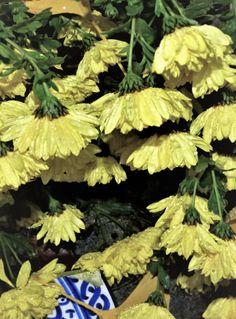 nasse Chrysanthemen, Foto: S. Hopp