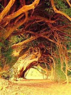 1000 yrs old Yew Tree, West Wales