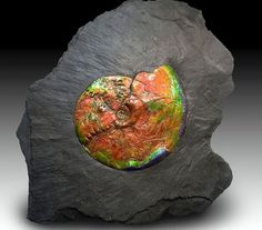 70-million-year-old ammolite fossil embedded in shale