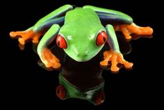 Frog Art RedEyed Tree Frog Cool Reflection by FrogFun