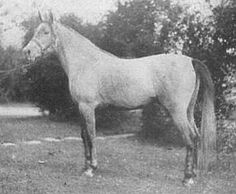 RODA (Mansour x Negma) 1931 grey mare bred by Prince Mohamed Ali, Egypt. Imported to the USA 1932 by W.R. Brown