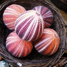 Sea Urchin Shells by felicia Sea Urchin Shell, Sea Shells, Sea Urchins, Shell Collection, Shell Beach, Deco Floral, Shell Art, Natural Forms, Ocean Life