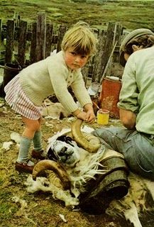 Sheep shearing day in an Irish village ..  little girl helping her dad by holding the sheep's horn ...