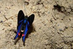Machos precisam de sais minerais para produção de esperma. Essa borboleta do gênero Rhetus está procurando por eles em um saleiro na Amazônia – Foto: Fábio Paschoal