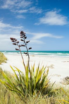 Flax flowers on a sandy white beach with blue sky and sea NZ