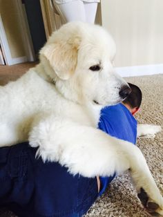 Autism therapy dog - Great Pyrenees