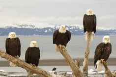 alaska - where bald eagles are in abundance