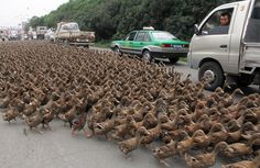 Farmers herd a flock of ducks along a street toward a pond as residents drive next to them in China.