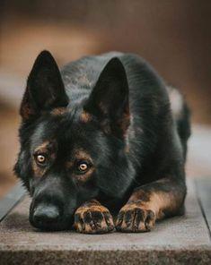 "The expression ""difficult guy with a heart of gold"" is m-Der Ausdruck ""schwieriger Typ mit einem Herz aus Gold"" ist möglicherweise die s… The expression ""difficult guy with a heart of gold"" may be the very … – Dog Breeds – - Big Dogs, I Love Dogs, Cute Dogs, Dogs And Puppies, Rottweiler, Beautiful Dogs, Animals Beautiful, German Shepherd Dogs, Australian German Shepherd"