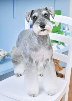 Find Out More On Smart Miniature Schnauzer Pups And Kids Schnauzer Cut, Schnauzer Grooming, Miniature Schnauzer Puppies, Schnauzers, Baby Dogs, Dogs And Puppies, Dog Grooming Styles, Friend Zone, Outline