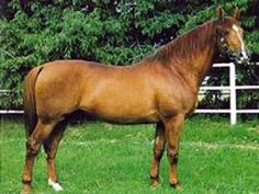 Pleven horse breed