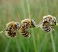 Bees:  Three small #bees at rest.