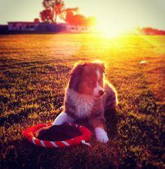 Mini Australian shepherd/ dogs