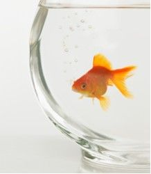 Goldfish to increase harmonious chi and decrease sha qi in problem areas.