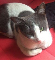 DÜZ GRİ-BEYAZ RENK KEDİMİZ KAYBOLDU Cats, Animals, Gatos, Animales, Animaux, Animais, Kitty, Cat, Animal