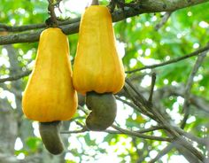 The Anacardium Occidentale or Cashew is a tree in the family Anacardiaceae. Its English name derives from the Portuguese name for the fruit of the cashew tree, caju, which in turn derives from the indigenous Tupi name, acajú. Cashew Tree, Cashew Apple, Tropical Fruits, Tropical Plants, Exotic Plants, Fruit Trees, Trees To Plant, Fruit Plants, Peanuts