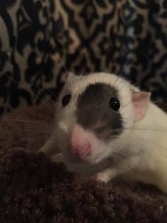 That moment when you're praising your rat for holding so still for a nice picture, but then you notice that he was pooping the whole time. Thanks, Apollo!
