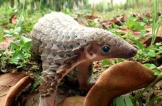 Pangolin does not belong on the plate
