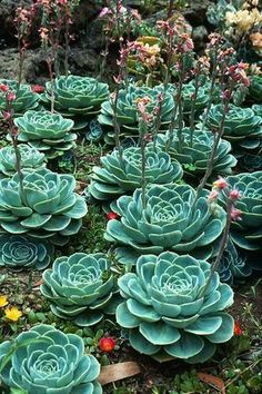 I have one of these succulents correctly and it is beautiful. This photo with many of them is gorgeous! In the next house we buy, I plan to have less grass and more succulents. Succulent Gardening, Cacti And Succulents, Planting Succulents, Cactus Plants, Planting Flowers, Blooming Succulents, Flowering Succulents, Growing Succulents, Beautiful Gardens