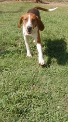 #GEORGIA #URGENT ~ June looks to be a foxhound blend--happy and playful --- gets along with other dogs & is in need of a loving #adopter or #rescue at CITY OF LYONS ANIMAL SHELTER  100 S Lanier St  #Lyons GA 30436  Ph 912 386-2024