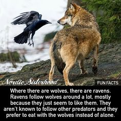 Raven And Wolf, Raven Bird, Wolf Love, Raven Pictures, Animal Pictures, Vikings, Raven Tattoo, Norse Tattoo, Weed