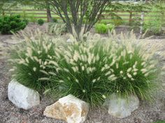 Dwarf Hameln Fountain Grass - Zone 4 - 11; full sun; 2 - 3'. tall, 1 - 2' wide; once established, needs only occasional watering. Attractive grass highlighted by fluffy, buff-colored plumes arching above foliage. Terrific contrast used among shrubs or as a backdrop in a perennial bed. Foliage turns golden-russet in fall. Perennial.