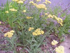 Yarrow Oil, Salve and Tincture: How To Make and Uses