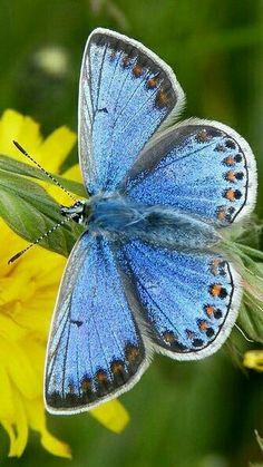 "Common Blue Butterfly ~ Mik's Pics ""Butterflies and Moths l"" board Beautiful Bugs, Beautiful Butterflies, Butterfly Kisses, Butterfly Wings, Madame Butterfly, Animal Original, Common Blue Butterfly, Flying Flowers, Moth Caterpillar"