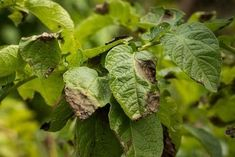 O picătură de iod și nu-ți vei recunoaște grădina! Acesta este un remediu împotriva fitoftorozei, mucegaiului alb și dăunătorilor. - Fasingur Growing Vegetables, Vegetable Garden, Good To Know, Planting Flowers, Cabbage, Plant Leaves, Fruit, Gardening, Colorado