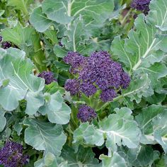 Summer Purple Broccoli-60-90 days. Summer Purple was bred for late summer to autumn cropping, but we've found this variety to be very adaptable to a wide range of sowing dates. Summer Purple even scored surprisingly high in our winter trial evaluations. Providing copious amounts of long stems with violet purple florets that are easily harvested by snapping off the stem. These are the perfect size whole in salads, stir-fries and steamed preparations. Extra sweet when caressed by frost.