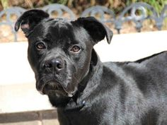 Talking Dogs at For Love of a Dog: Adopt Barkley a Black Pit Bull Terrier | Tuesdays Tails