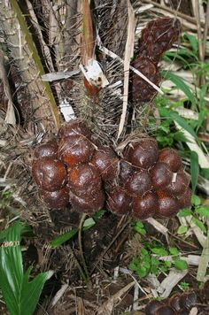 Salak or snake fruit, a tropical fruit from Southeast Asia.