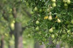 Starting an Orchard. Learn where to plant your fruit trees, how to prune them, harvesting techniques, and more.