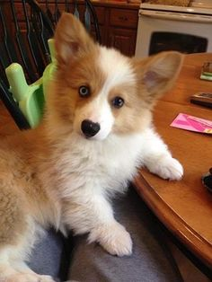 Fluffy Corgi puppy dog. So cute! http://www.corgicuteness.com