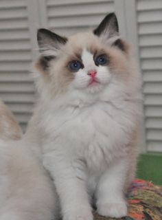 Ragdoll Cats Facts ragdoll cat bicolor ragdoll cat seal point ragdoll cat bicolor white ragdoll cat with blue eyes lilac point ragdoll cat : 911 Ragdoll Cat - Animal Lover Cute Cats And Kittens, Cool Cats, Kittens Cutest, Funny Kittens, White Ragdoll Cat, Ragdoll Cats, Bengal Cats, Pretty Cats, Beautiful Cats