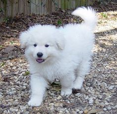 Adorable Kuvasz puppy!