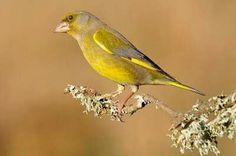 What species is this? Yellow Birds, Animals, Animales, Animaux, Animal, Animais